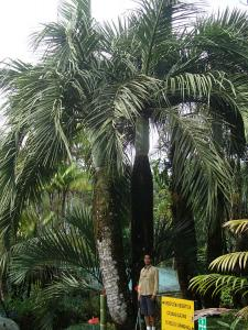 Dypsis decipiens_opt.jpg